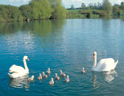 Swans and cygnets - Picture: British Waterways